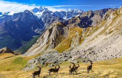 Ibex grazing in the Ecrins National Park